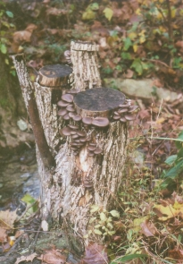 Grey Dove Oyster mushrooms fruiting on a stump